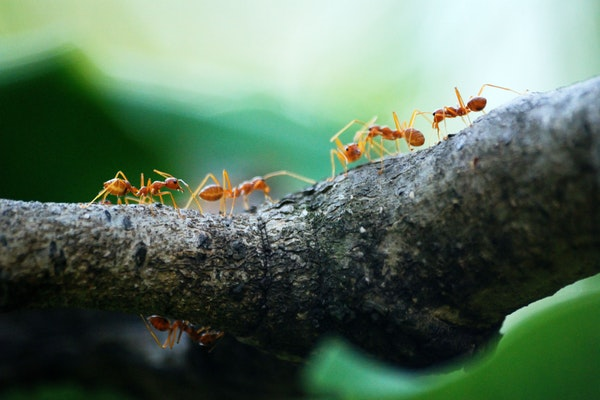 photo of fire ants